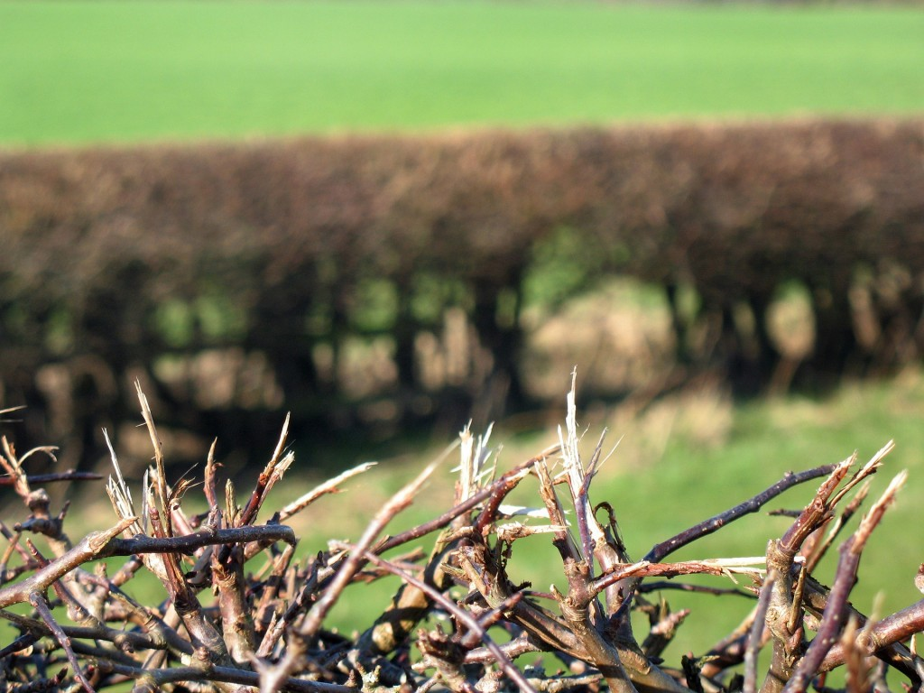 field hedge